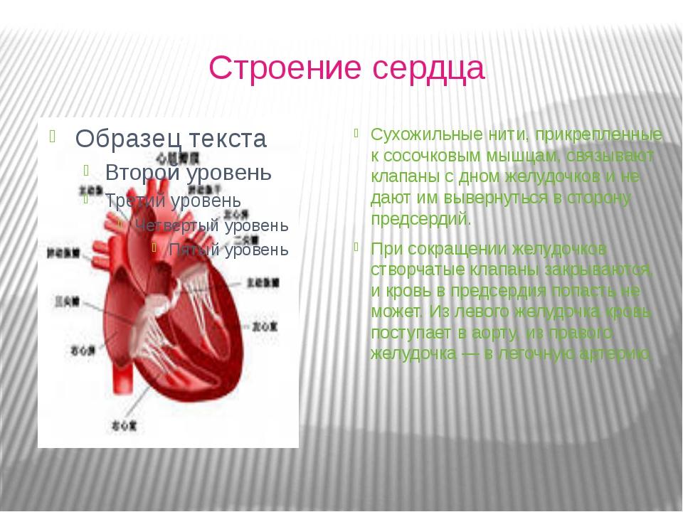 Строение сердца Сухожильные нити, прикрепленные к сосочковым мышцам, связыва...