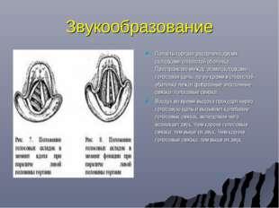 Звукообразование Полость гортани разделена двумя складками слизистой оболочки