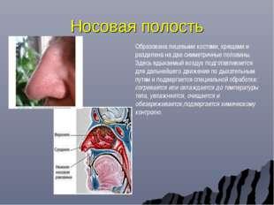 Носовая полость Образована лицевыми костями, хрящами и разделена на две симме
