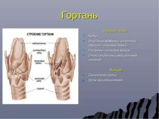 Гортань Строение гортани: Хрящи. Эластичная мембрана, (ее волокна образуют го