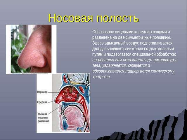Носовая полость Образована лицевыми костями, хрящами и разделена на две симме...