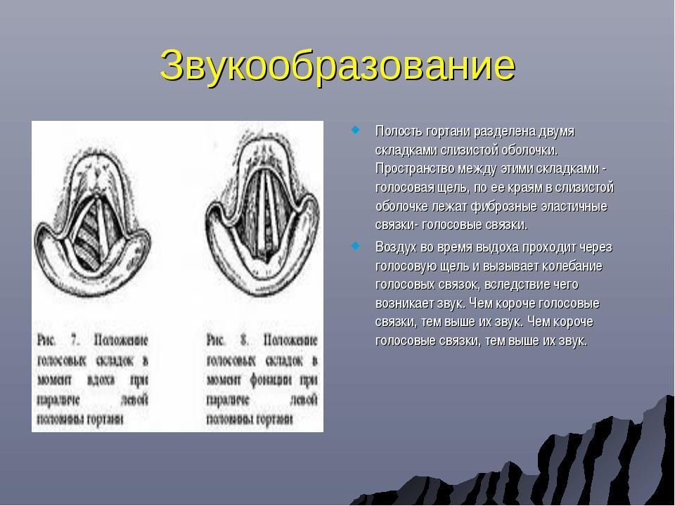 Звукообразование Полость гортани разделена двумя складками слизистой оболочки...