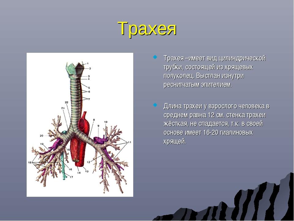 Трахея Трахея –имеет вид цилиндрической трубки, состоящей из хрящевых полукол...