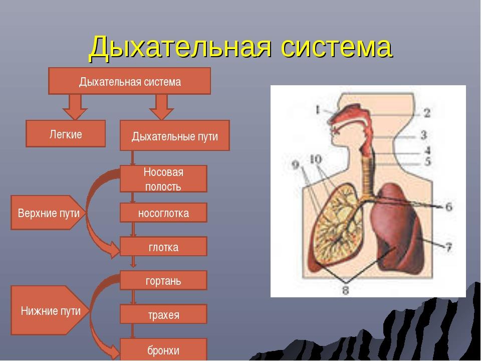 Дыхательная система Дыхательная система Легкие Дыхательные пути Носовая полос...