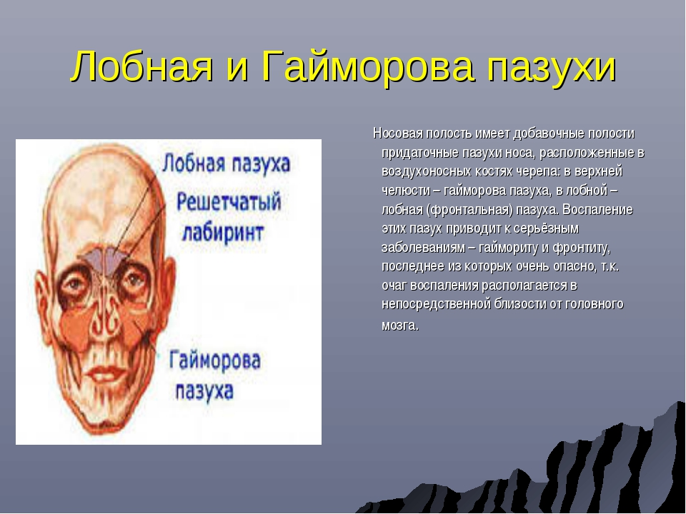 Лобная и Гайморова пазухи Носовая полость имеет добавочные полости придаточны...