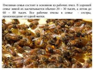 Пчелиная семья состоит в основном из рабочих пчел. В хорошей семье зимой их н