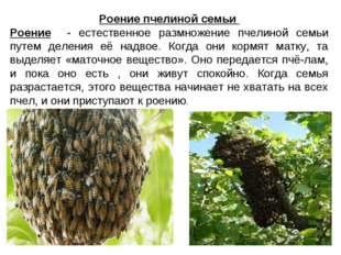 Роение пчелиной семьи Роение - естественное размножение пчелиной семьи путем
