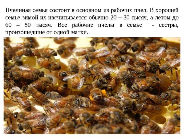 Пчелиная семья состоит в основном из рабочих пчел. В хорошей семье зимой их н...