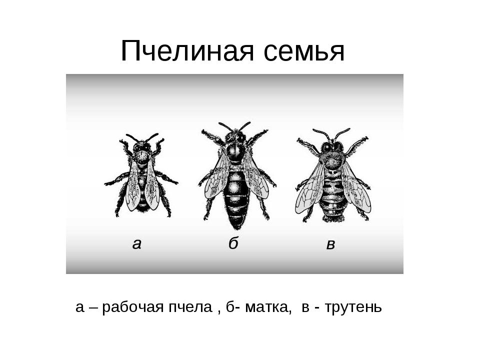 Пчелиная семья а – рабочая пчела , б- матка, в - трутень