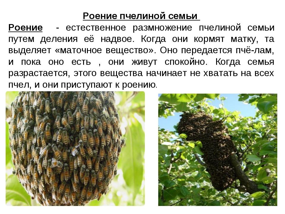 Роение пчелиной семьи Роение - естественное размножение пчелиной семьи путем...