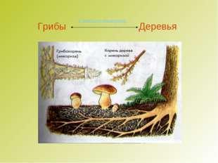 Грибы Деревья Симбиоз-микориза
