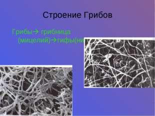 Строение Грибов Грибы грибница (мицелий)гифы(нити)