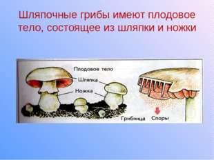 Шляпочные грибы имеют плодовое тело, состоящее из шляпки и ножки