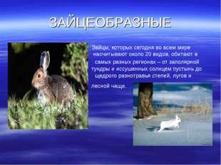 ЗАЙЦЕОБРАЗНЫЕ Зайцы, которых сегодня во всем мире насчитывают около 20 видов,