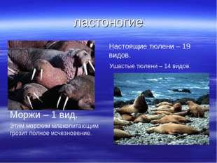 ластоногие Моржи – 1 вид. Этим морским млекопитающим грозит полное исчезновен