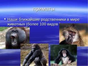 приматы Наши ближайшие родственники в мире животных (более 100 видов ).