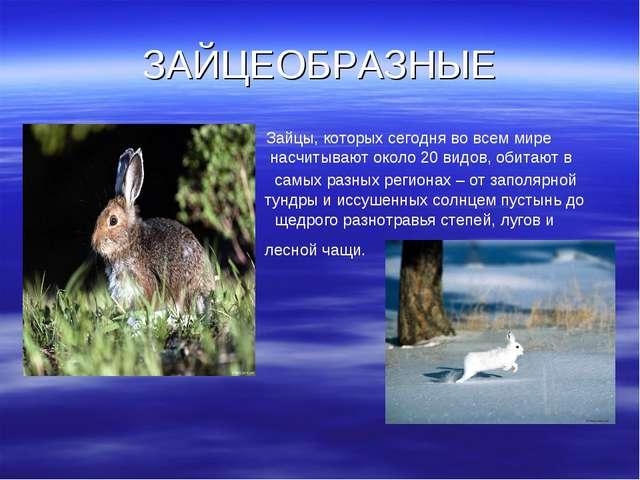 ЗАЙЦЕОБРАЗНЫЕ Зайцы, которых сегодня во всем мире насчитывают около 20 видов,...