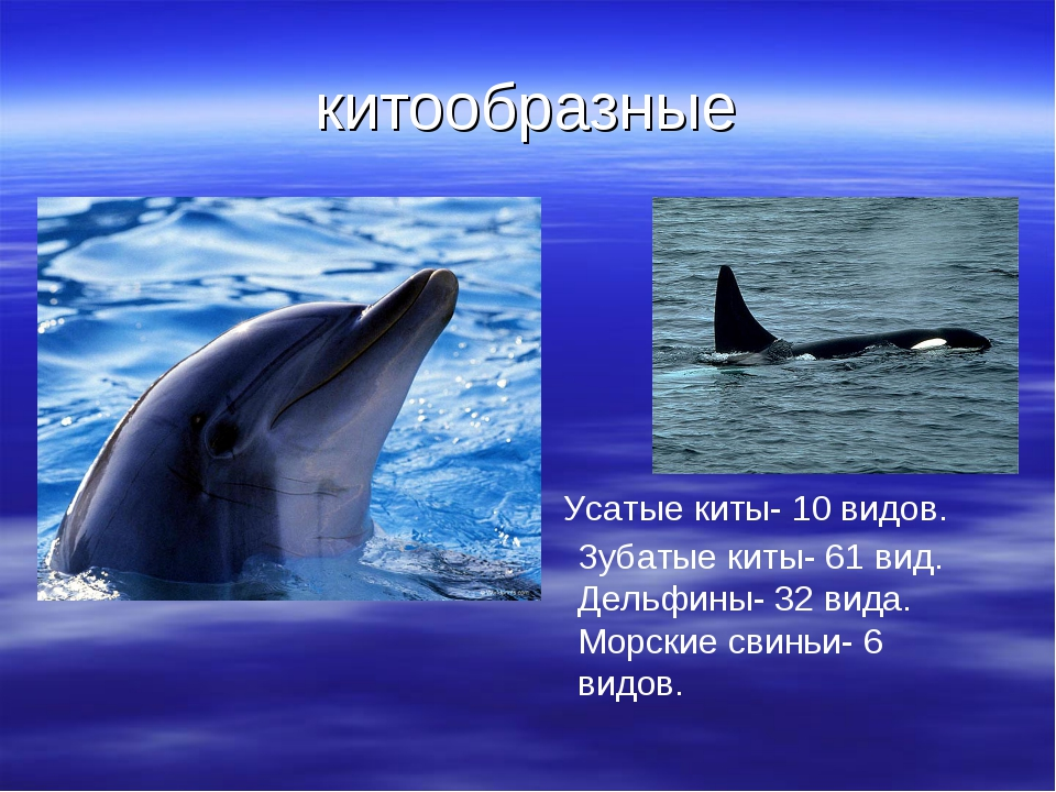 китообразные Усатые киты- 10 видов. Зубатые киты- 61 вид. Дельфины- 32 вида....