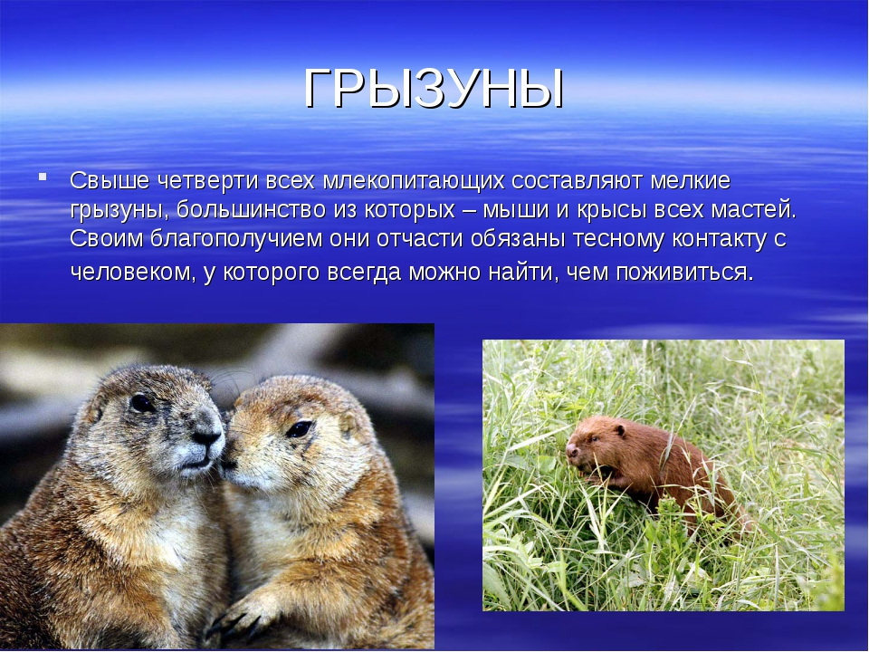 ГРЫЗУНЫ Свыше четверти всех млекопитающих составляют мелкие грызуны, большинс...