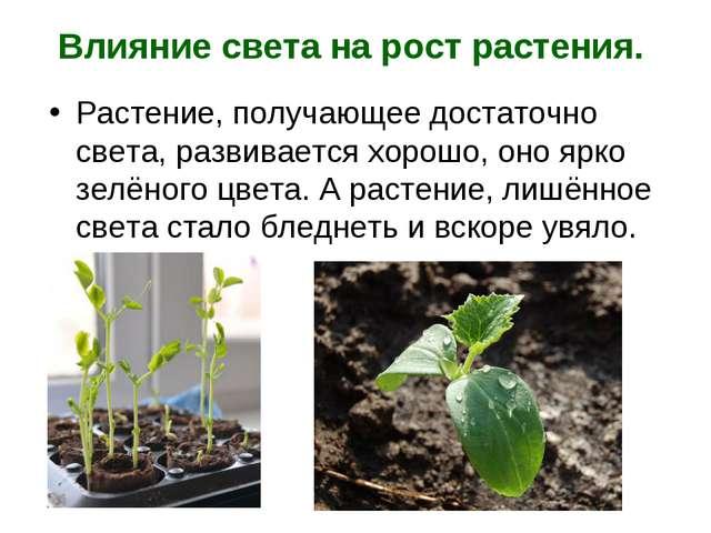 Влияние света на рост растения. Растение, получающее достаточно света, развив...