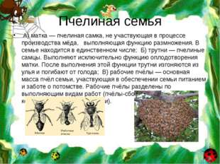 Пчелиная семья А) матка — пчелиная самка, не участвующая в процессе производс