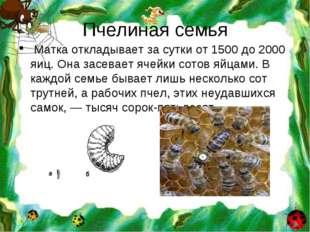 Пчелиная семья Матка откладывает за сутки от 1500 до 2000 яиц. Она засевает я