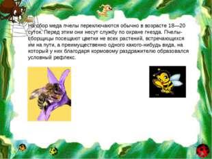 На сбор меда пчелы переключаются обычно в возрасте 18—20 суток. Перед этим он