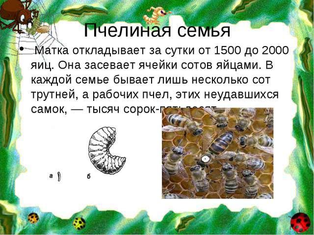 Пчелиная семья Матка откладывает за сутки от 1500 до 2000 яиц. Она засевает я...