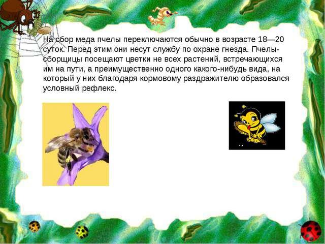 На сбор меда пчелы переключаются обычно в возрасте 18—20 суток. Перед этим он...
