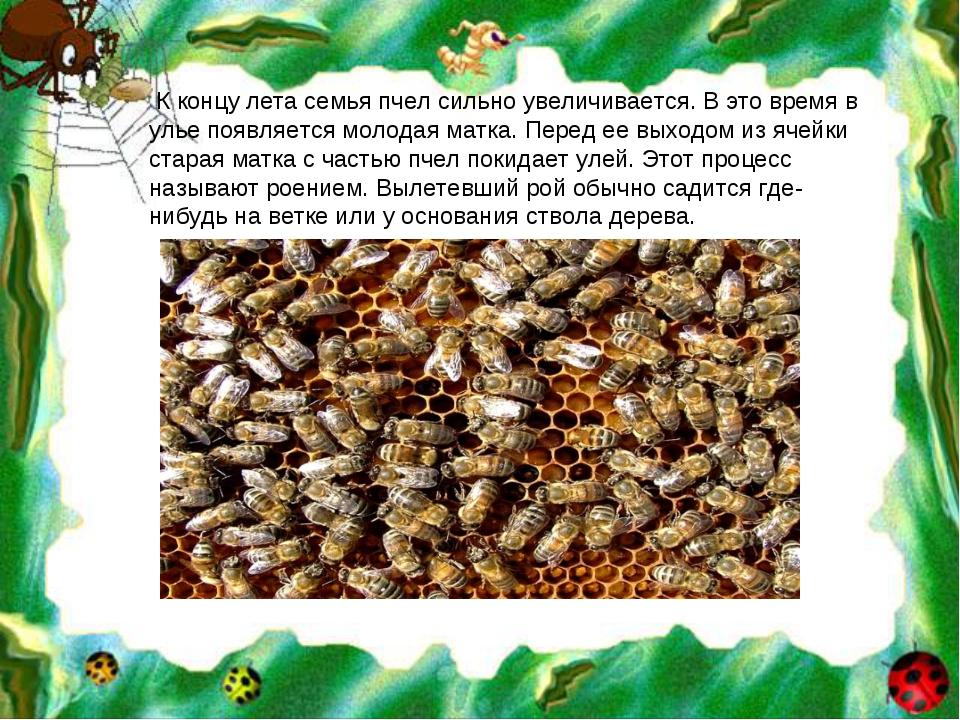 К концу лета семья пчел сильно увеличивается. В это время в улье появляется...