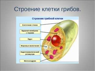 Строение клетки грибов.