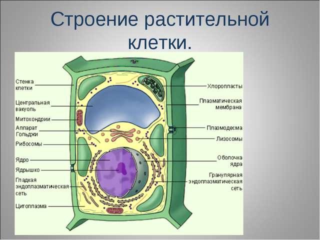 Строение растительной клетки.