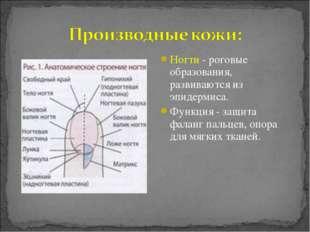 Ногти - роговые образования, развиваются из эпидермиса. Функция - защита фала