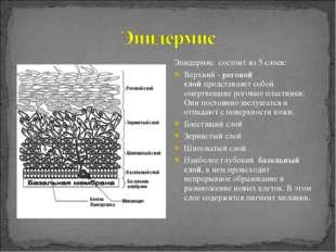 Эпидермис состоит из 5 слоев: Верхний -роговой слойпредставляет собой омерт