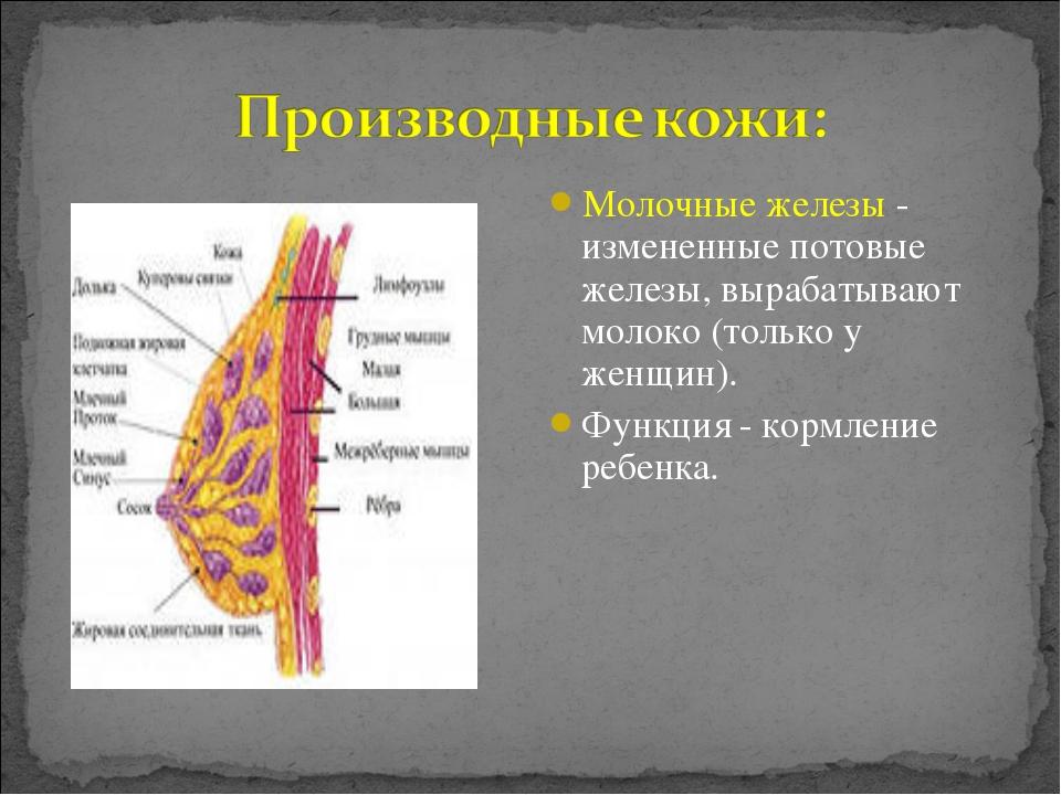 Молочные железы - измененные потовые железы, вырабатывают молоко (только у же...