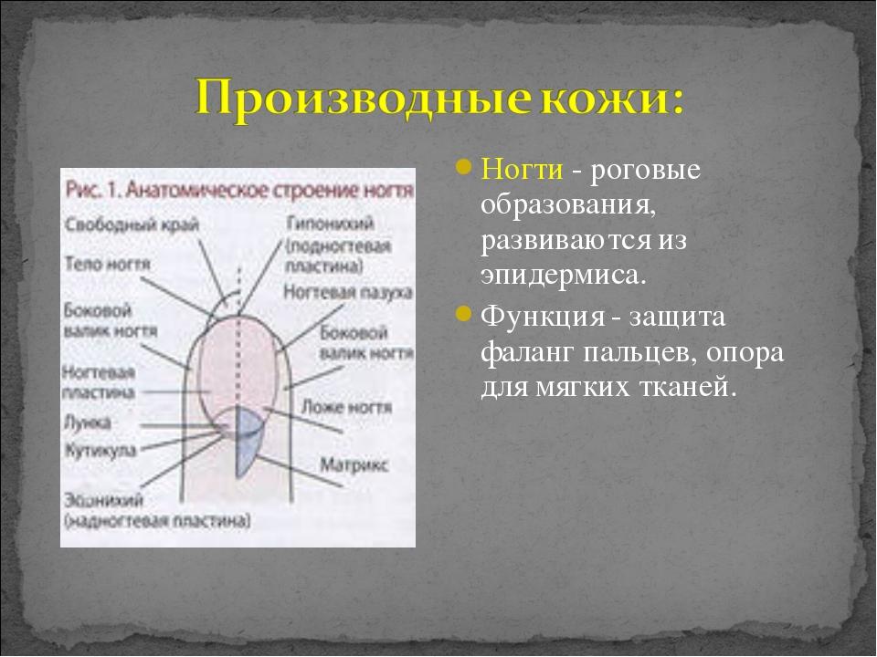 Ногти - роговые образования, развиваются из эпидермиса. Функция - защита фала...