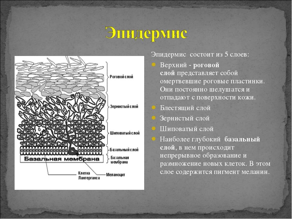 Эпидермис состоит из 5 слоев: Верхний -роговой слойпредставляет собой омерт...