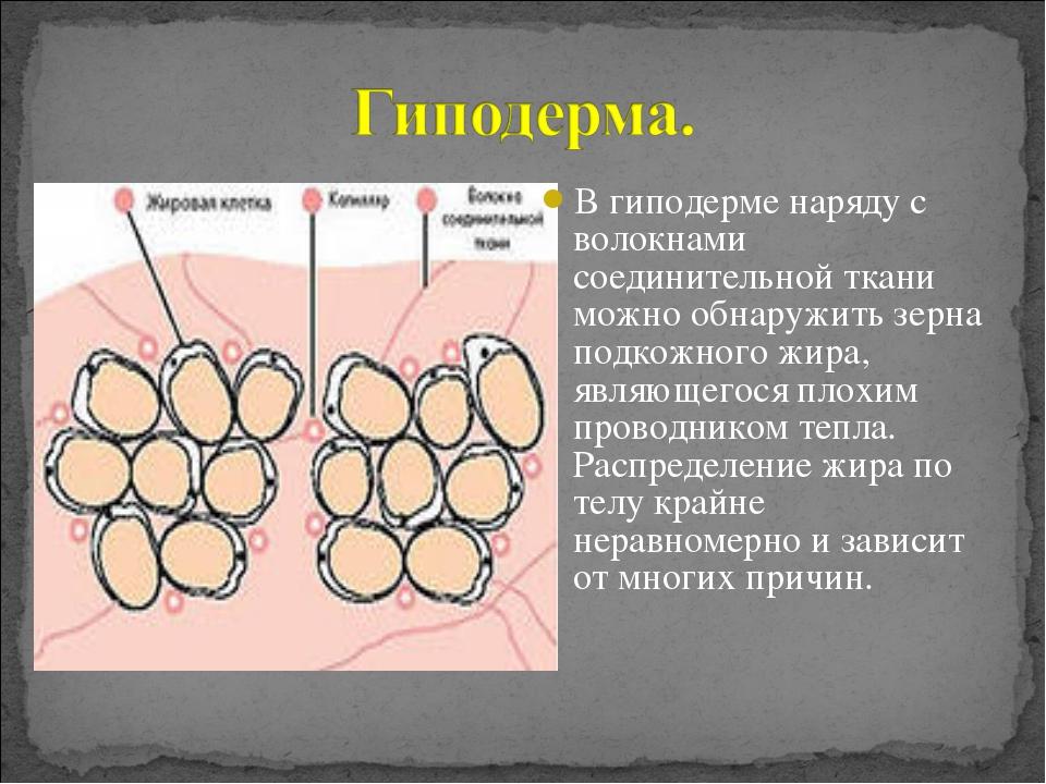 В гиподерме наряду с волокнами соединительной ткани можно обнаружить зерна по...