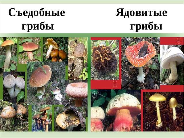 Съедобные Ядовитые грибы грибы