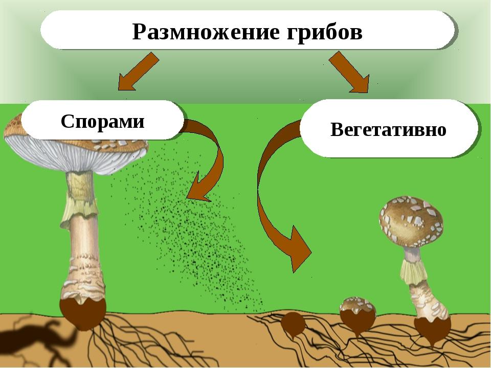 Вегетативно Спорами Размножение грибов