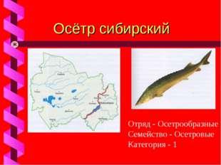 Осётр сибирский Отряд - Осетрообразные Семейство - Осетровые Категория - 1
