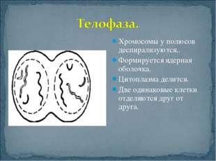 Хромосомы у полюсов деспирализуются,. Формируется ядерная оболочка. Цитоплазм