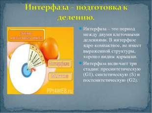 Интерфаза – это период между двумя клеточными делениями. В интерфазе ядро ком