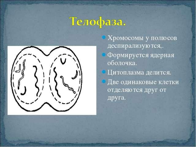 Хромосомы у полюсов деспирализуются,. Формируется ядерная оболочка. Цитоплазм...