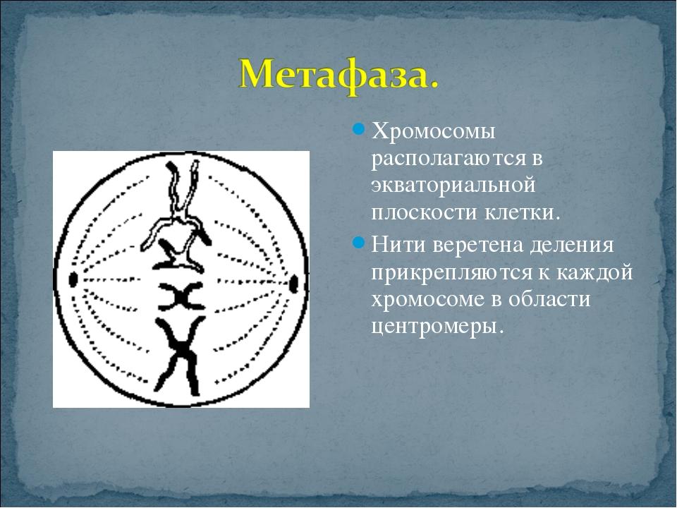 Хромосомы располагаются в экваториальной плоскости клетки. Нити веретена деле...