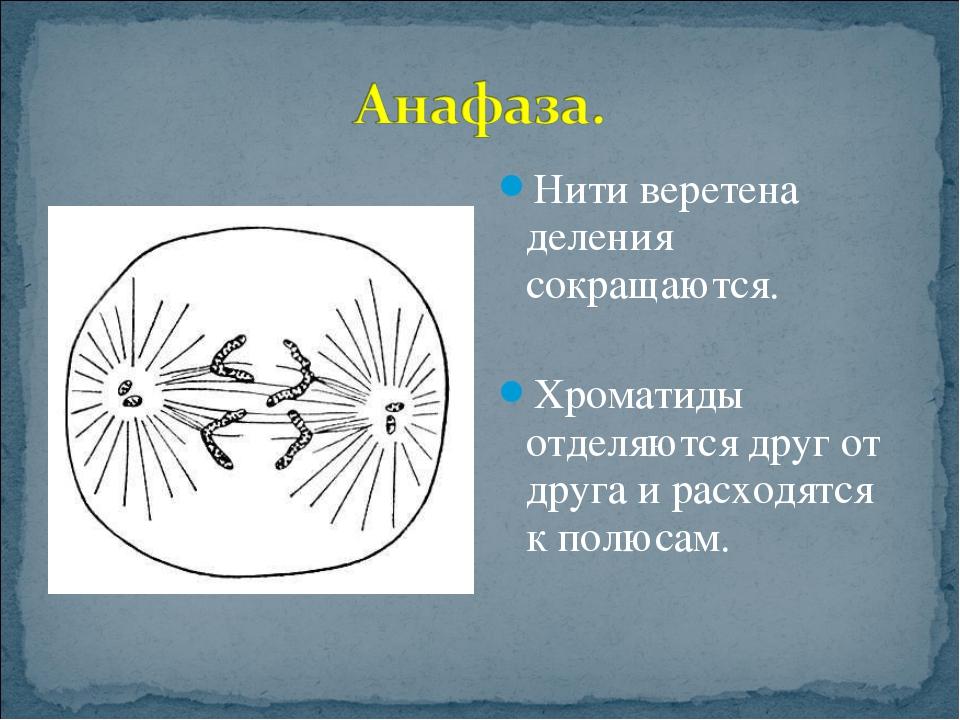Нити веретена деления сокращаются. Хроматиды отделяются друг от друга и расхо...