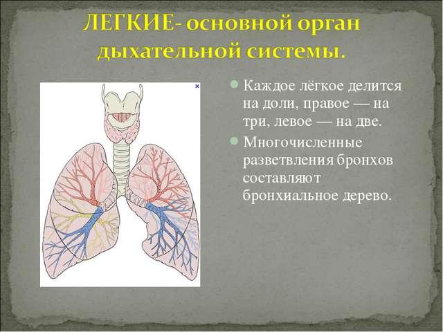 Каждое лёгкое делится на доли, правое — на три, левое — на две. Многочисленны...