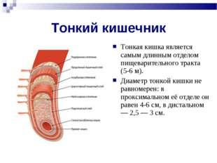 Тонкий кишечник Тонкая кишка является самым длинным отделом пищеварительного