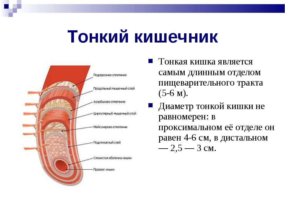 Тонкий кишечник Тонкая кишка является самым длинным отделом пищеварительного...