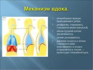межреберные мышцы приподнимают ребра, диафрагма, сокращаясь, становится менее